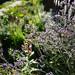 Sea lavender 20170912_1