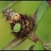 Green Shieldbug on Knapweed