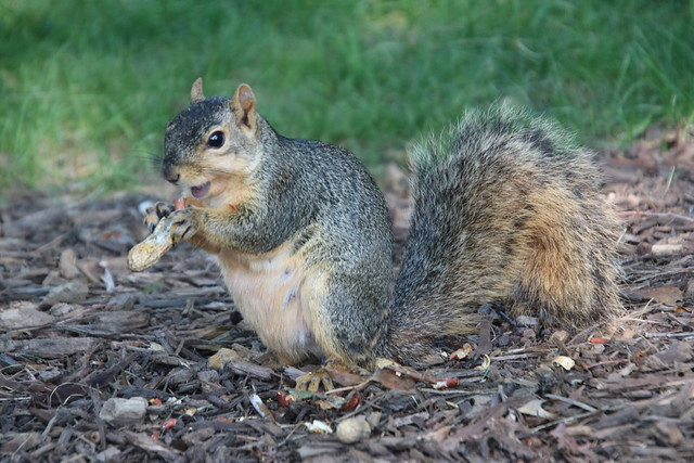 Fox Squirrels in Ann Arbor at the University of Michigan on July 28th, 2021