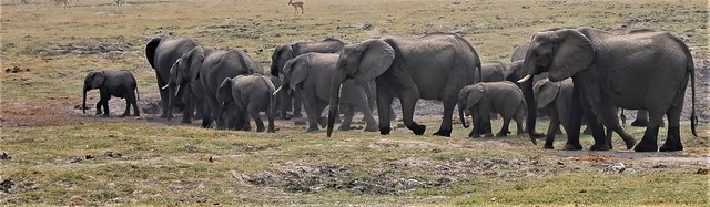 Elephant herd - Caprivi Strip, Namibia