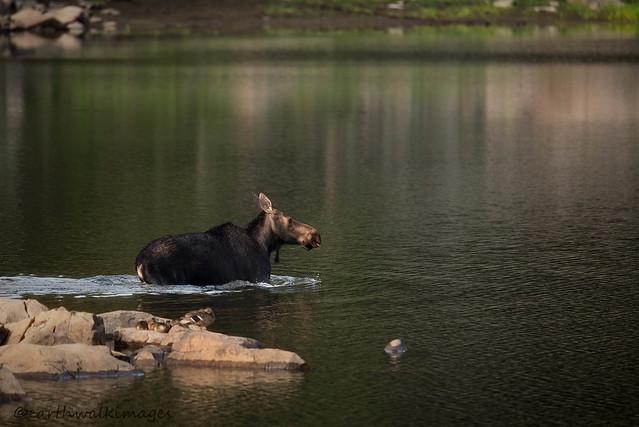 Cow Moose