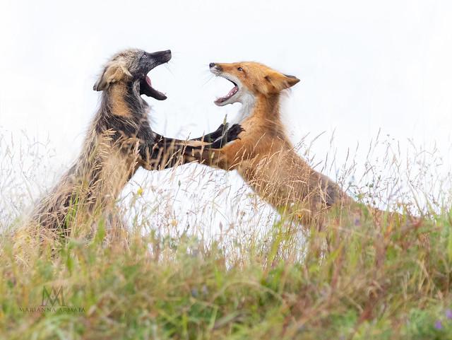 foxes playing on Anticosti Island