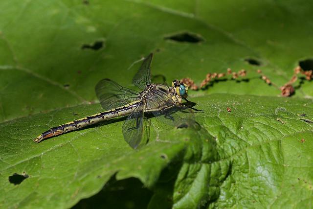 Blue eyed Dragon fly