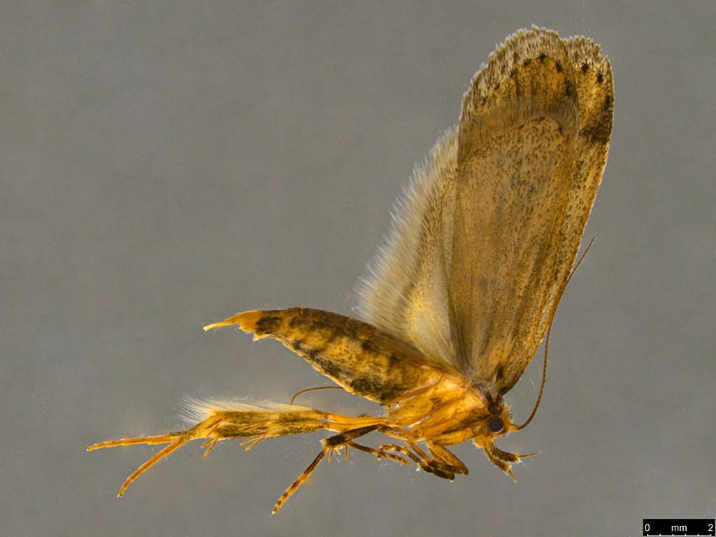 11a - Oecophorinae sp.