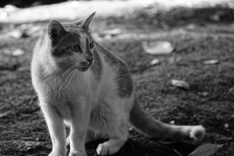 119Sony α7Ⅱ+TAMRON 28 200mm f2 8 5 6 RDX南池袋三丁目法明寺の猫 茶白