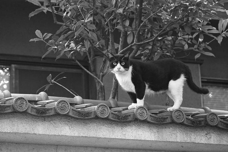120Sony α7Ⅱ+TAMRON 28 200mm f2 8 5 6 RDX南池袋三丁目法明寺の猫 黒白八割れ