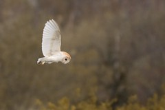 Barn Owl about to dive