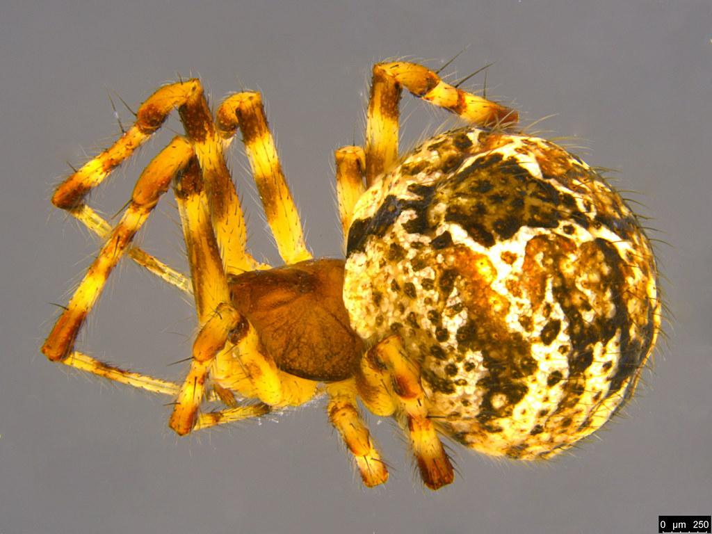1a - Cryptachaea veruculata (Urquhart, 1886)