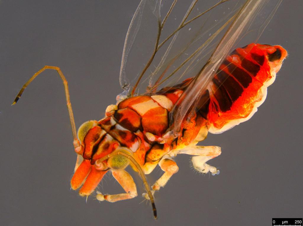 8b - Glycaspis sp.