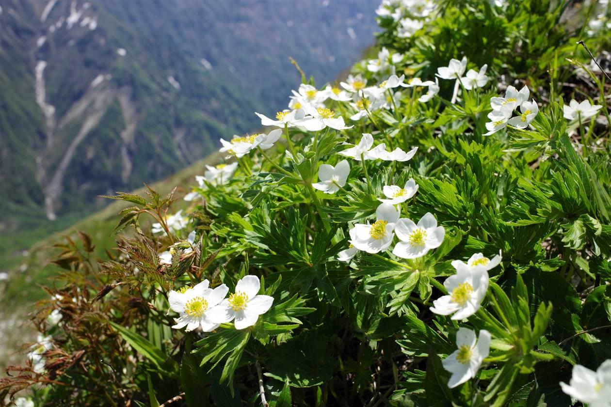 谷川連峰・茂倉岳の高山植物のお花畑