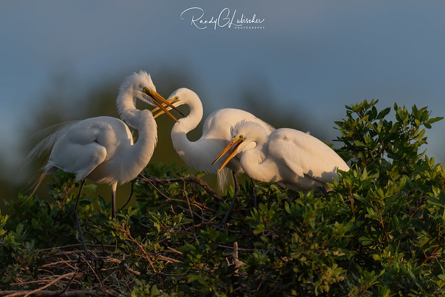 Great Egret | Ardea alba | 2021 - 10