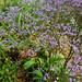 Limonium latifolium Sea Lavender-003