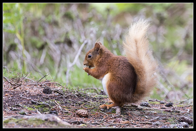IMG_0054 Red Squirrel