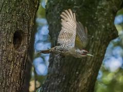 Japanese Green Woodpecker -202107310175-ORF_DxO_DeepPRIME.jpg