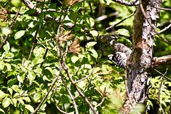 2021-07-30 - Woodpecker in Tree -