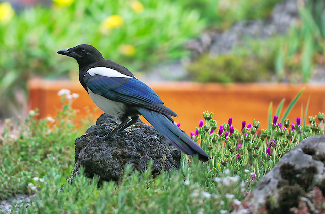 Magpie the Robber...