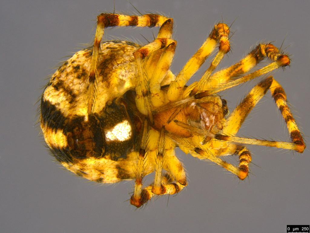 1b - Cryptachaea veruculata (Urquhart, 1886)