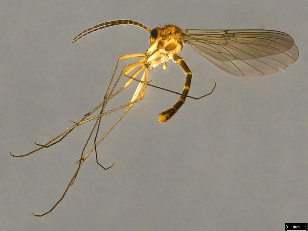 5a - Sciaridae sp.