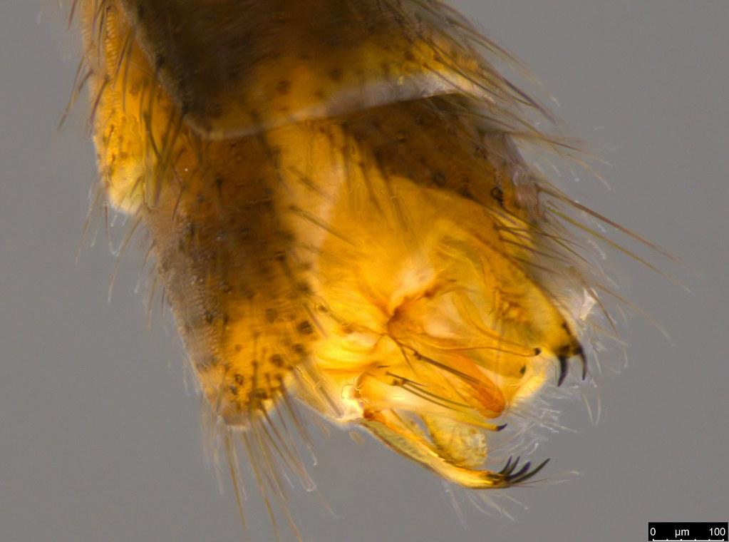 5c - Sciaridae sp.