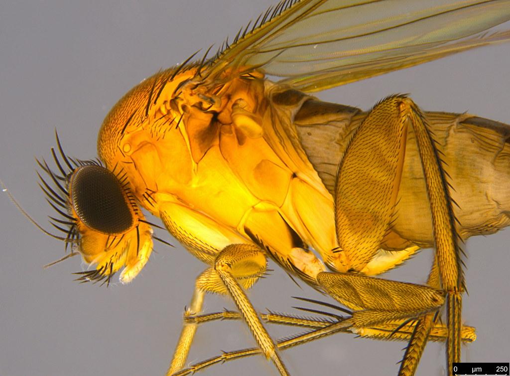 6b - Metopiinae sp.