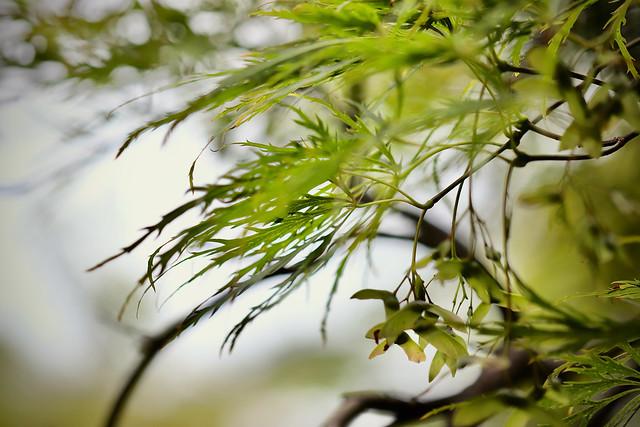 Japanese Cutleaf Maple