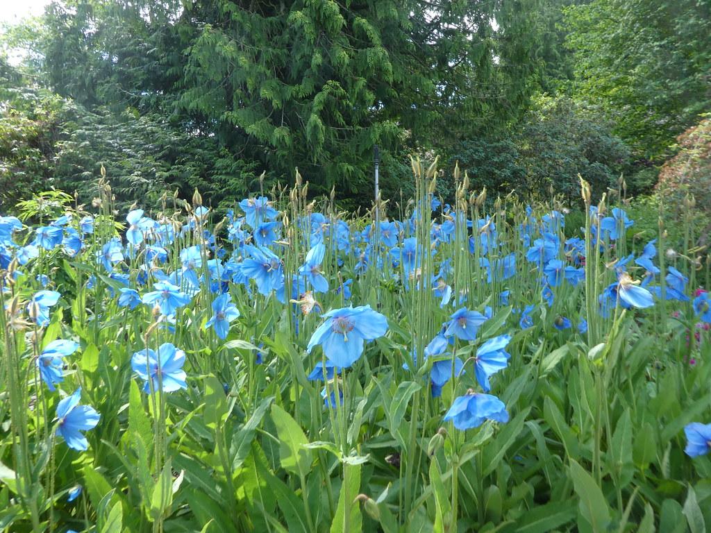 Blue poppies at the Botanic Garden, Edinburgh