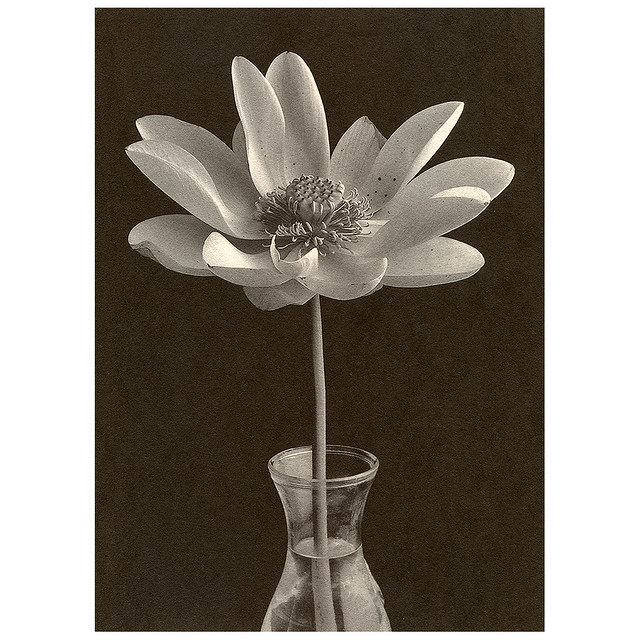 water lily in vase