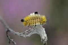 Dark Tussock moth larva