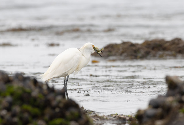 Snowy Egret and Its Lunch
