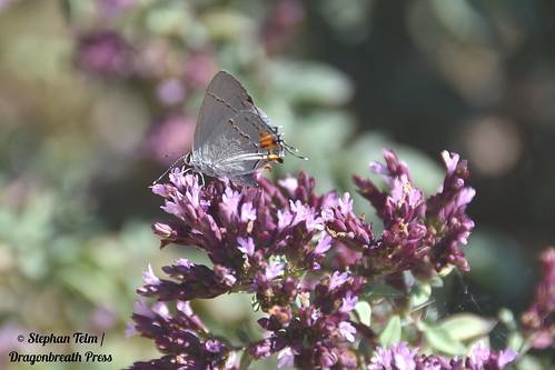DSC_5553_Gray hairstreak  on purple flowers