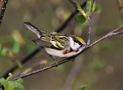 Chestnut-sided Warbler (Setophaga pensylvanica) 05-22-2021 Mount Nebo WMA, Garrett Co. MD 7