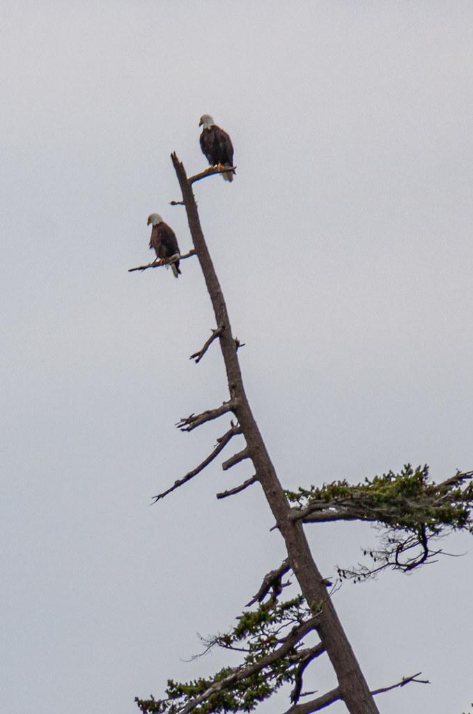 Watchful bald eagles