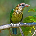 White-cheeked Barbet / Small Green Barbet
