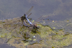 Black-tailed skimmers at it