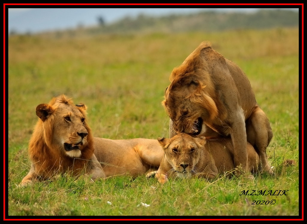 TWO YOUNG KING OF JUNGLE (Panthera leo) WITH A LIONESS ....MASAI MARA....SEPT 2020.