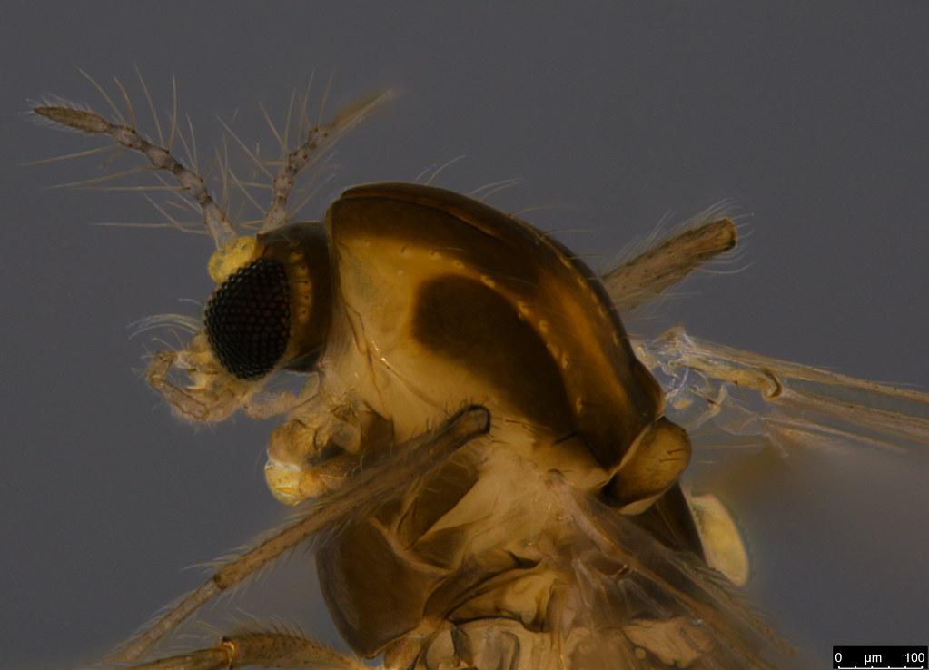 3b- Orthocladiinae sp.