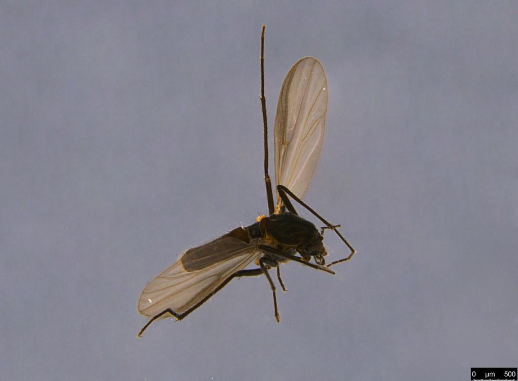 4a - Diptera sp.