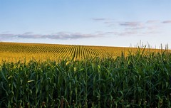 Children of the Corn My original goal for the morning photo shoot was the tractor and the hayfield but the views of the cornfields force me to pull over first. Thereu2019s something mesmerizing about those unnaturally uniform rows of corn, especially when you