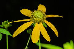 Cutleaf Coneflower Flower