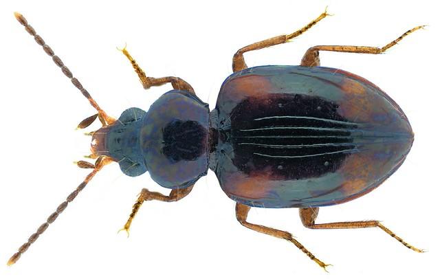 Elaphropus charactus (Andrewes, 1925)