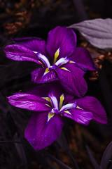 Iris Couple