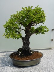 Glencoe, IL, Chicago Botanic Garden, Bonsai Tree