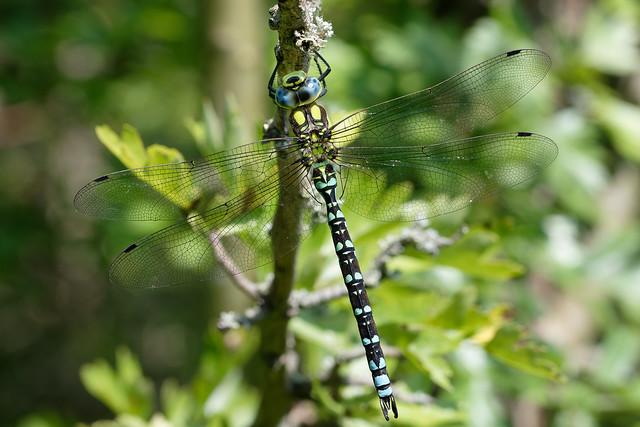 Southern Hawker, male (Aeshna cyanea) Blågrön mosaikslända