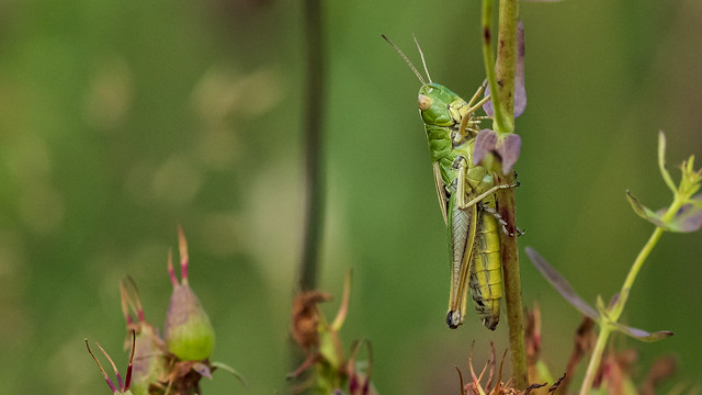 Heuschrecken-Makro (Weibchen Gemeiner Grashüpfer)