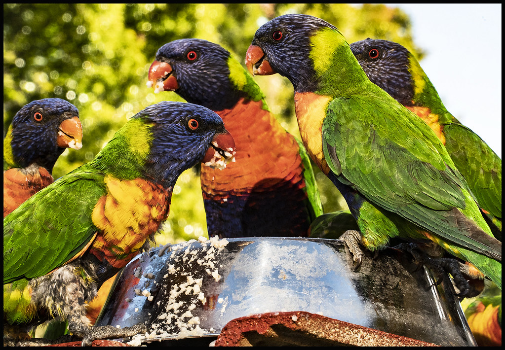 Five Rainbow Lorikeets love their special nector mix=