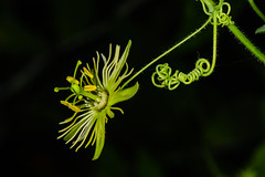 Yellow Passionflower Flower