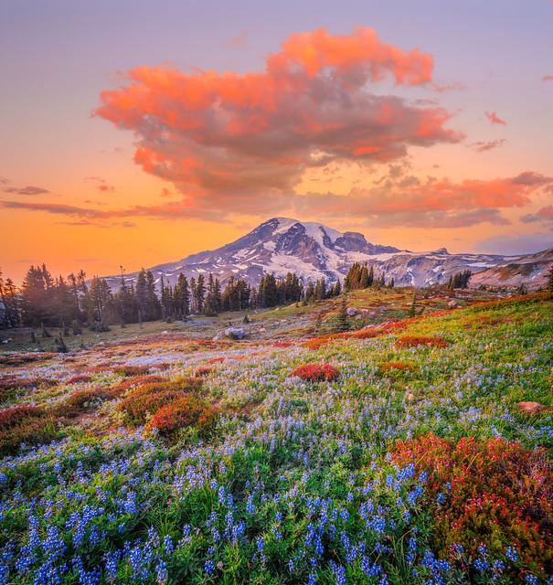 Mount Rainier National Park Summer Lupine Wildflowers Sunrise Meadows Fuji GFX100 Fine Art Landscape Nature Photography! Dr. Elliot McGucken Master Medium Format Photography dx4/dt=ic Washington State WA Pacific Northwest Fuji GFX 100 Fine Art!!