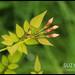 Jasmine flower buds