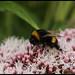 Bumblebee on Hemp Agrimony