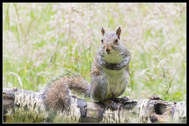 IMG_0052 Grey Squirrel